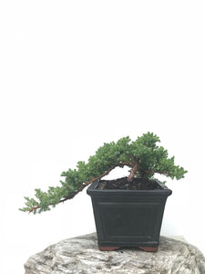 JAPANESE JUNIPER (JP1902387) - MiniGardens NZ
