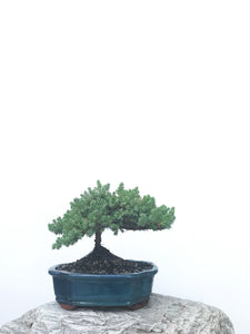JAPANESE JUNIPER (JP1902389) - MiniGardens NZ