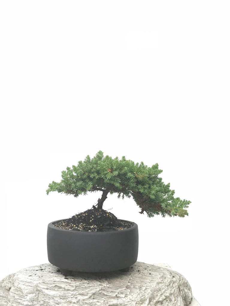 JAPANESE JUNIPER (JP1902392) - MiniGardens NZ