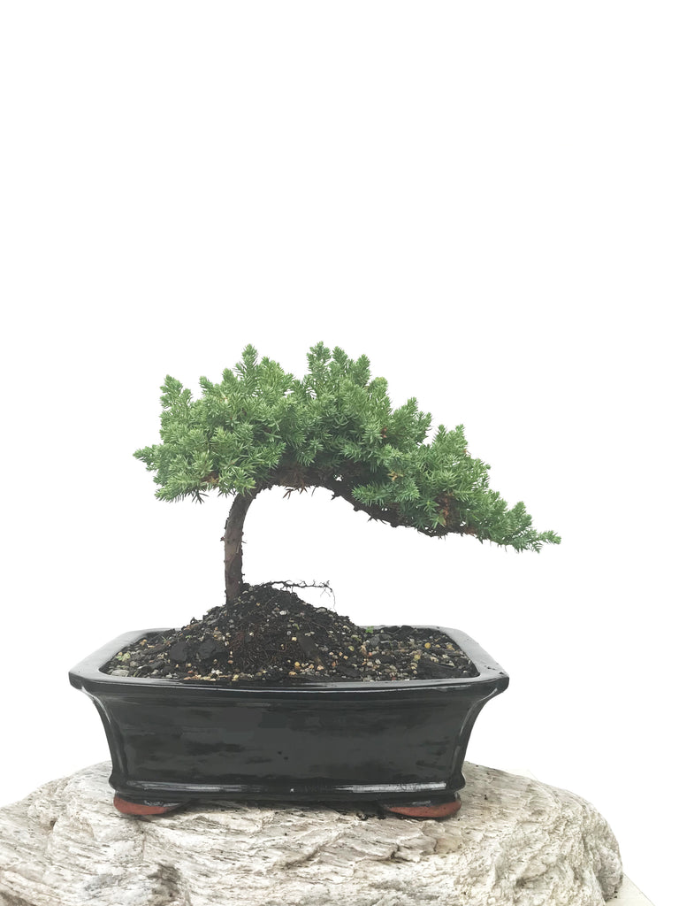 JAPANESE JUNIPER (JP1902395) - MiniGardens NZ