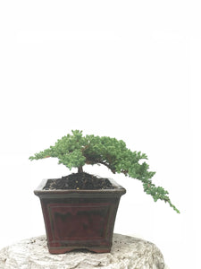 JAPANESE JUNIPER (JP1902396) - MiniGardens NZ