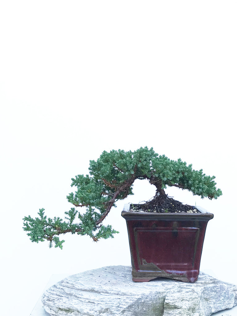 JAPANESE JUNIPER (JP1903406) - MiniGardens NZ