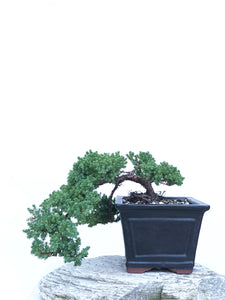 JAPANESE JUNIPER (JP1903407) - MiniGardens NZ