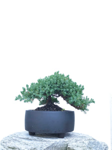 JAPANESE JUNIPER (JP1903409) - MiniGardens NZ