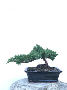 JAPANESE JUNIPER (JP1903411) - MiniGardens NZ