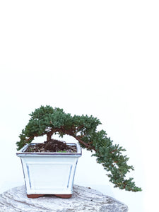 JAPANESE JUNIPER (JP1903421) - MiniGardens NZ