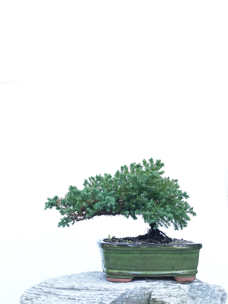 JAPANESE JUNIPER (JP1903423) - MiniGardens NZ