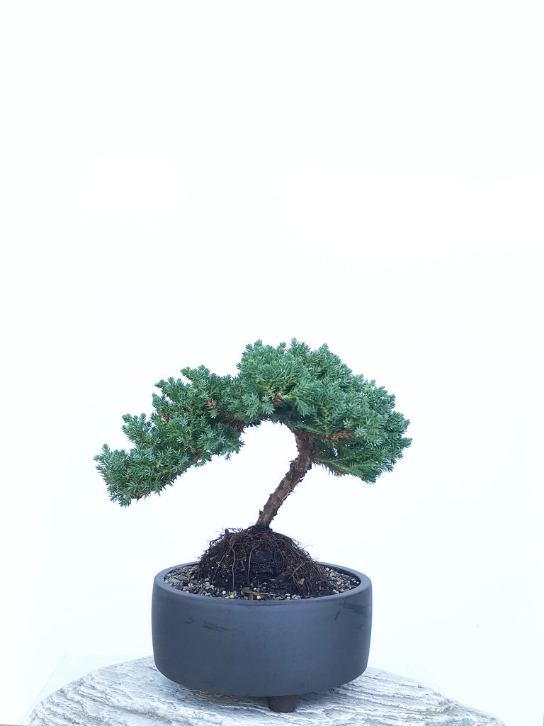 JAPANESE JUNIPER (JP1903424) - MiniGardens NZ