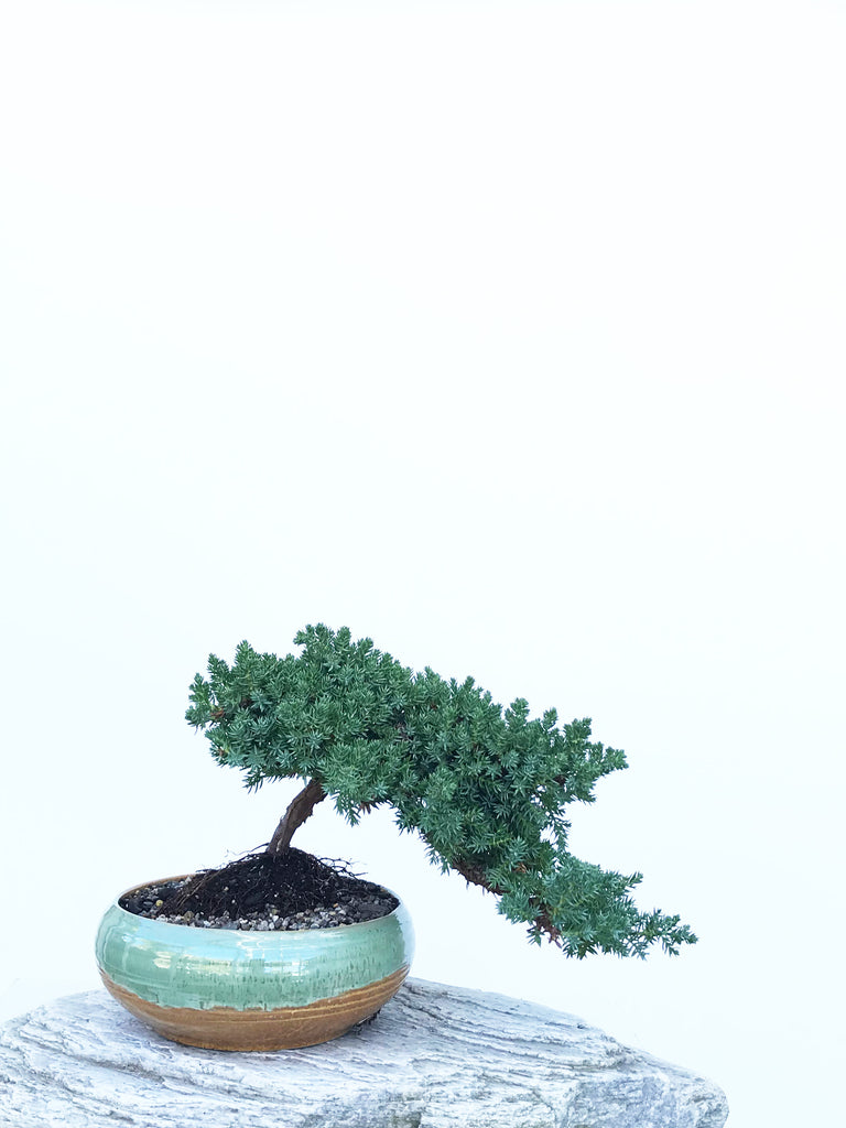 JAPANESE JUNIPER (JP1903425) - MiniGardens NZ