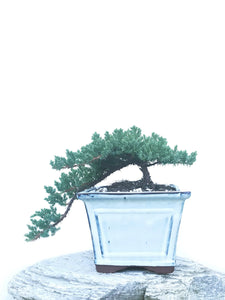 JAPANESE JUNIPER (JP1904427) - MiniGardens NZ