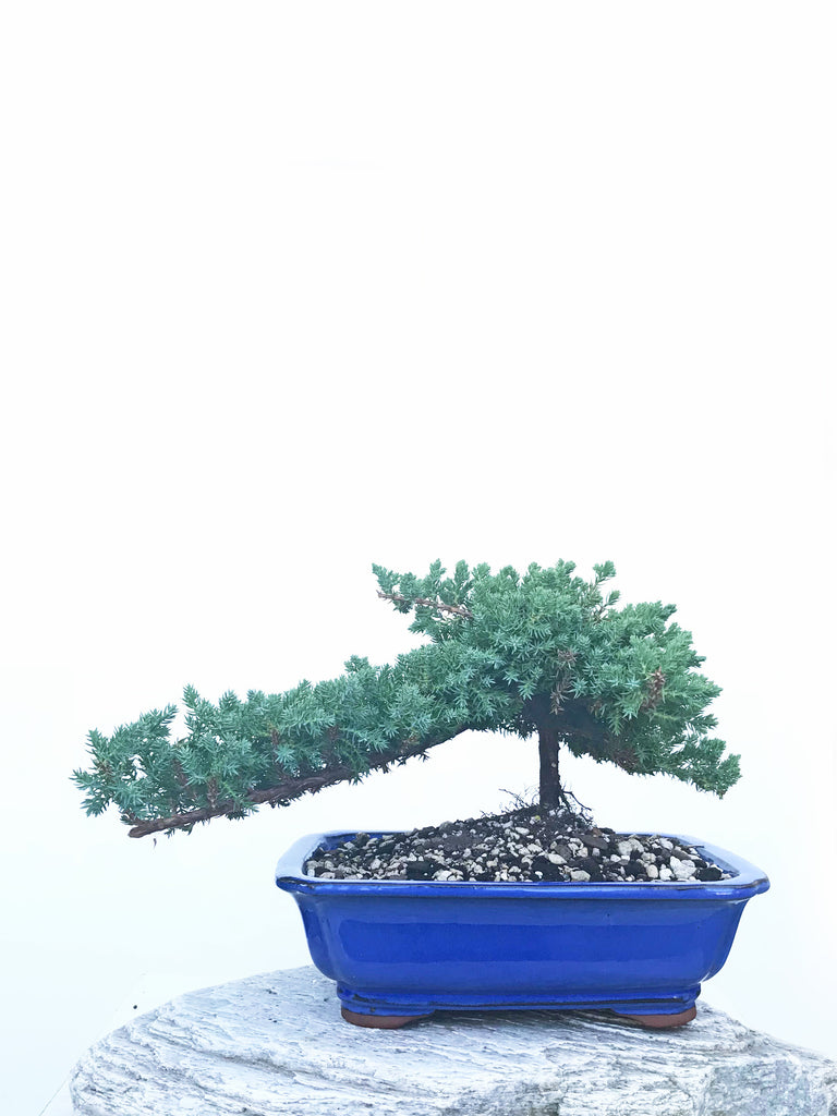 JAPANESE JUNIPER (JP1904436) - MiniGardens NZ
