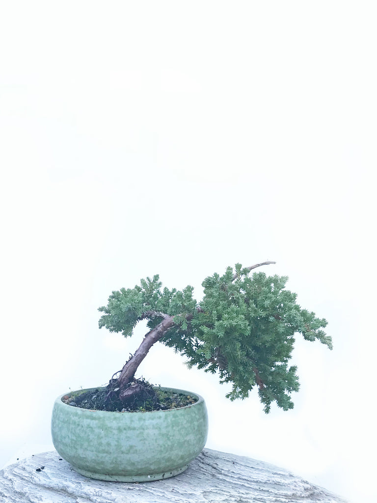 JAPANESE JUNIPER (JP1904440) - MiniGardens NZ