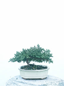 JAPANESE JUNIPER (JP1904441) - MiniGardens NZ