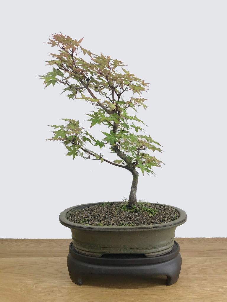 JAPANESE MAPLE (INFORMAL) - MiniGardens NZ