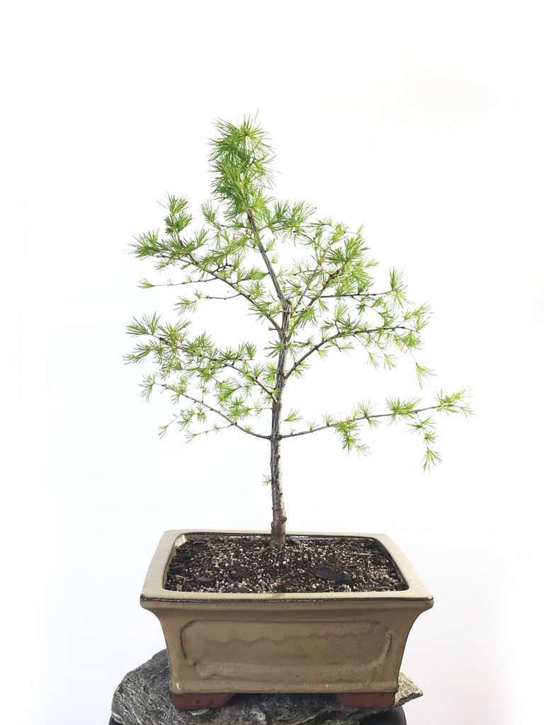 EUROPEAN LARCH (LA1807001) - MiniGardens NZ