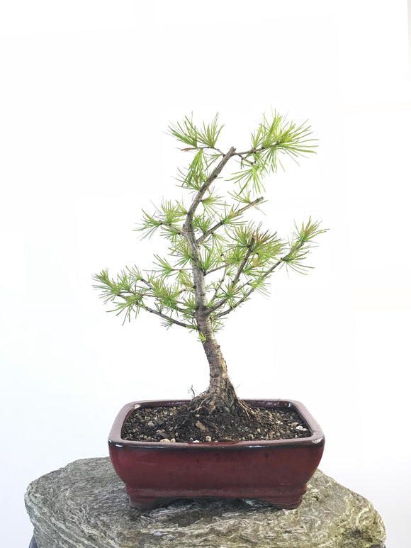 EUROPEAN LARCH (LA1807002)