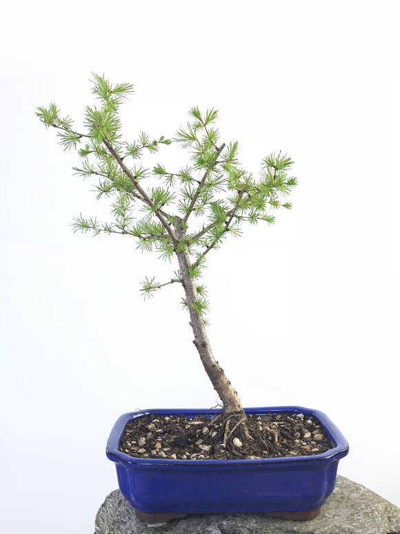 EUROPEAN LARCH (LA1807004)