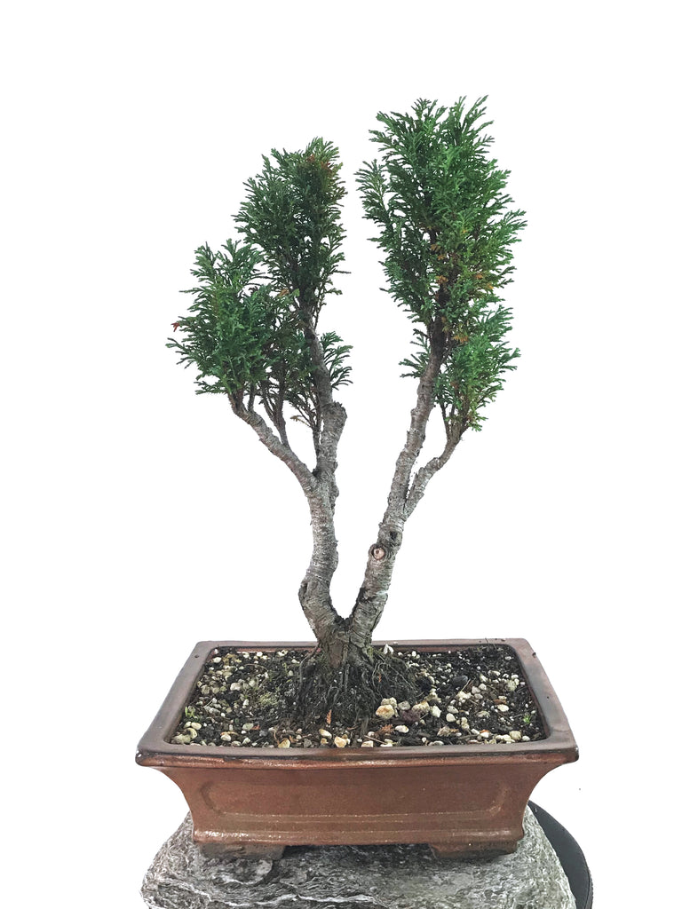 CYPRESS (TWIN-TRUNK)