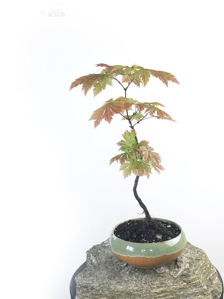 JAPANESE MAPLE (MP1708001) - MiniGardens NZ