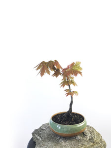 JAPANESE MAPLE (MP1708004) - MiniGardens NZ