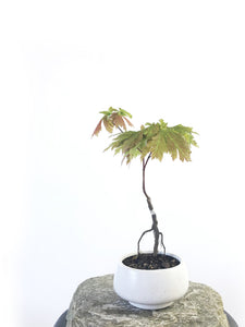 JAPANESE MAPLE (MP1708009) - MiniGardens NZ