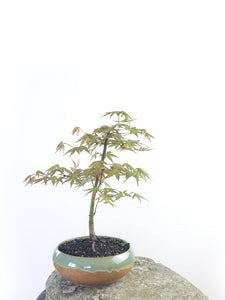 JAPANESE MAPLE (MP1708011) - MiniGardens NZ
