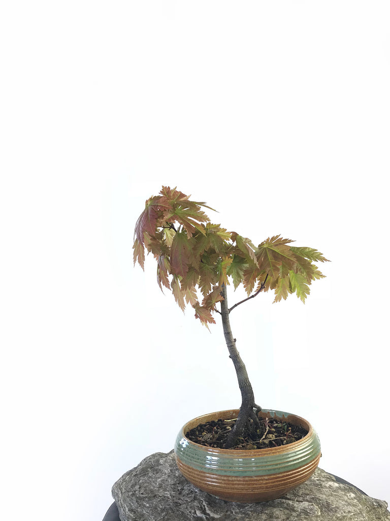 JAPANESE MAPLE (MP1708013)