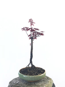 JAPANESE RED MAPLE (MP1708016) - MiniGardens NZ