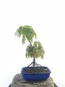 JAPANESE MAPLE (MP1708017) - MiniGardens NZ