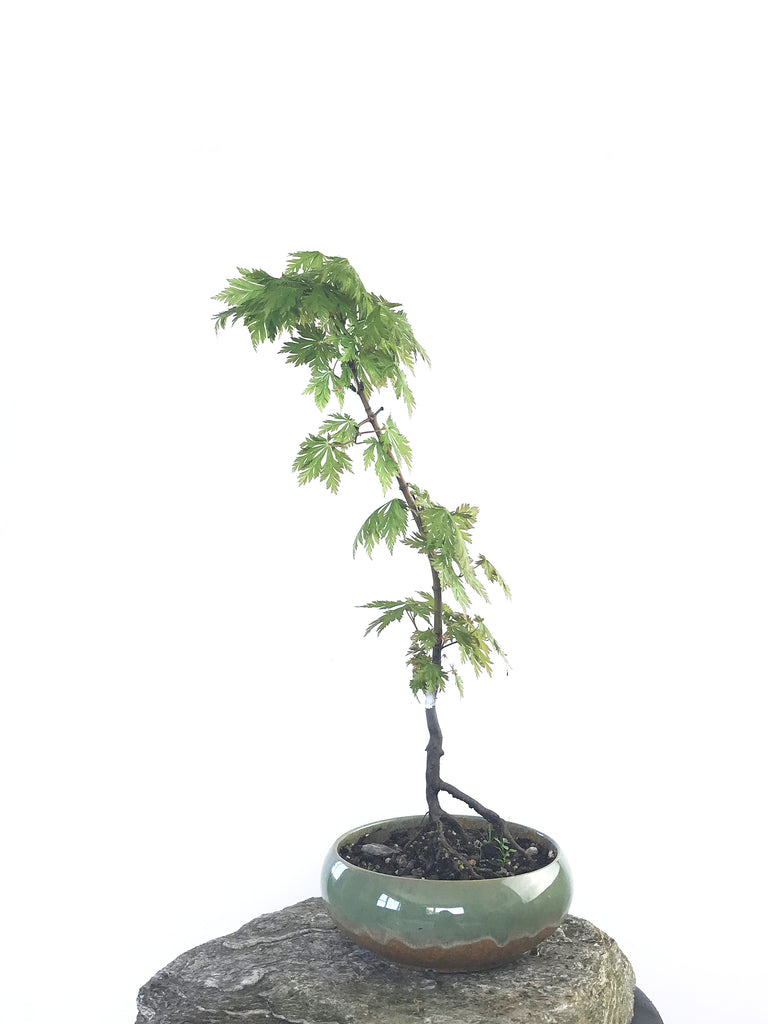 JAPANESE MAPLE (MP1808018)