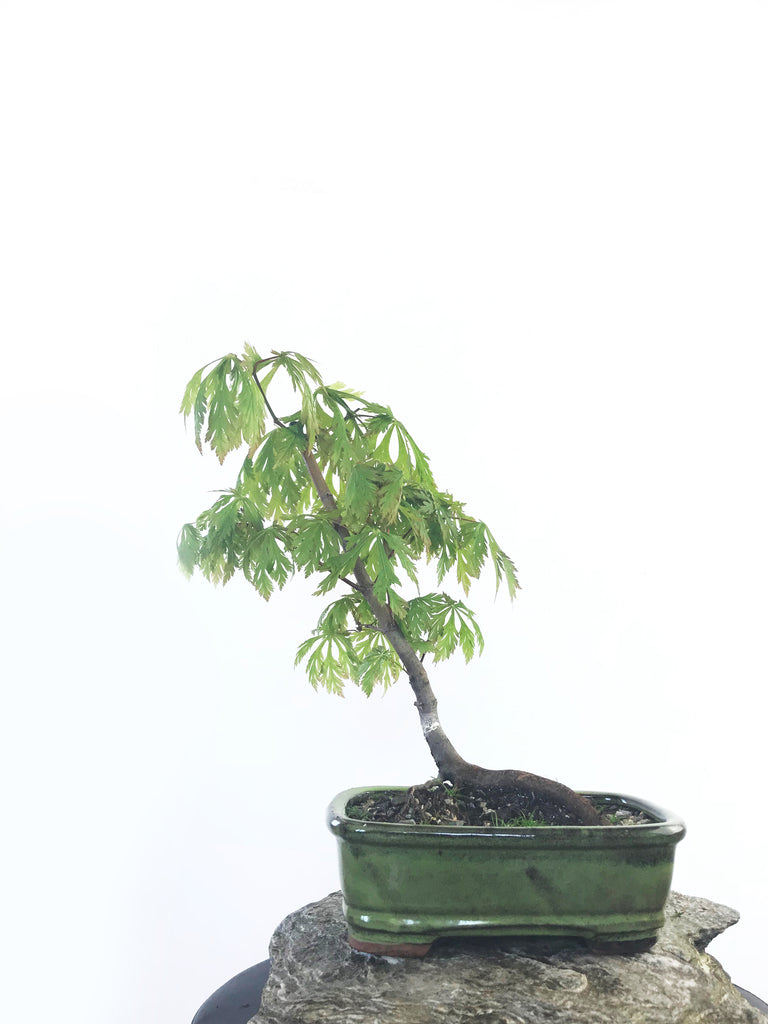 JAPANESE MAPLE (MP1808020)