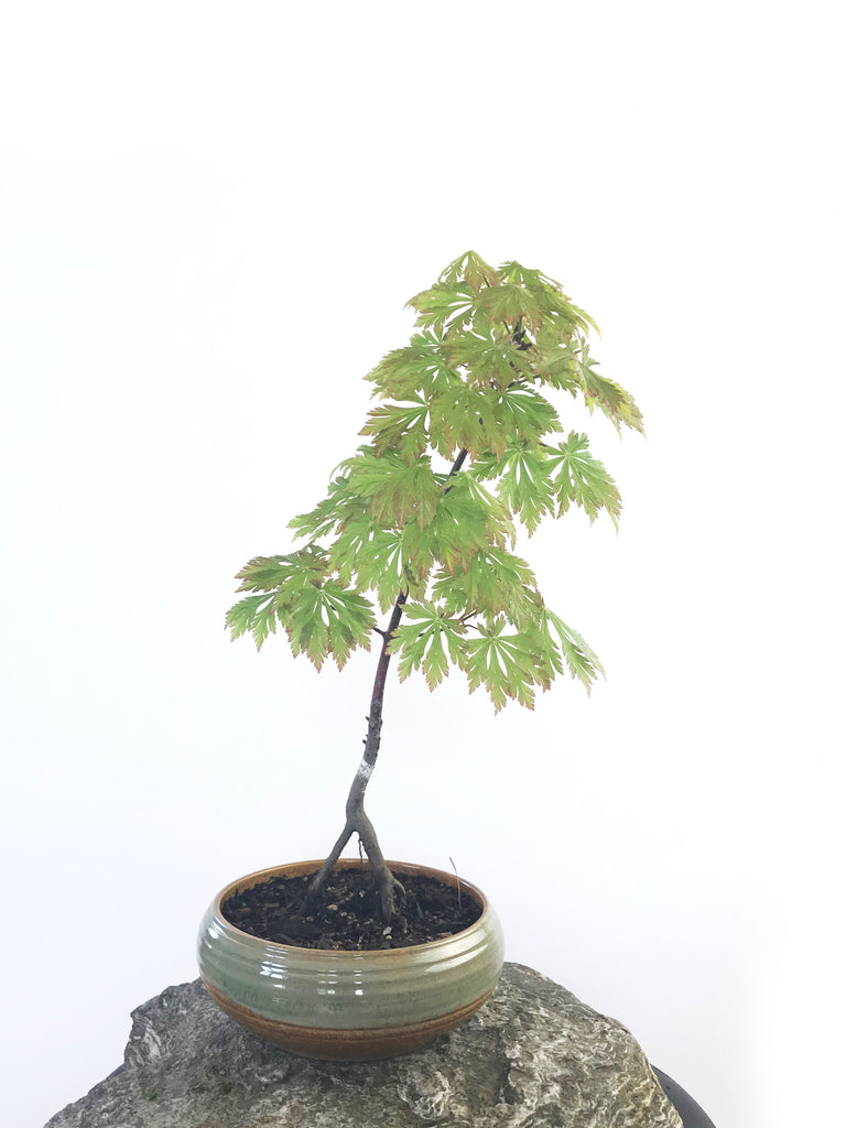 JAPANESE MAPLE (MP1808022) - MiniGardens NZ