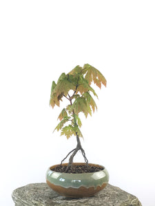 JAPANESE MAPLE (MP1808031) - MiniGardens NZ