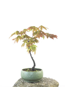 JAPANESE MAPLE (MP1808034)