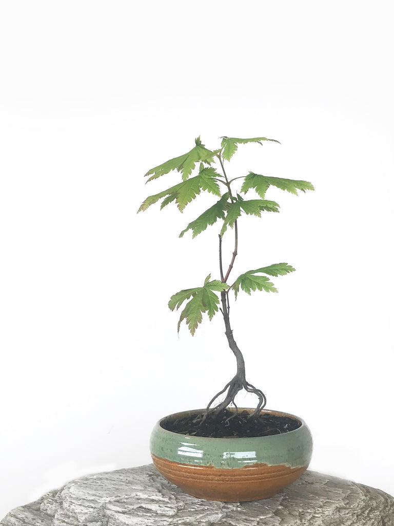 JAPANESE MAPLE (MP1808043)