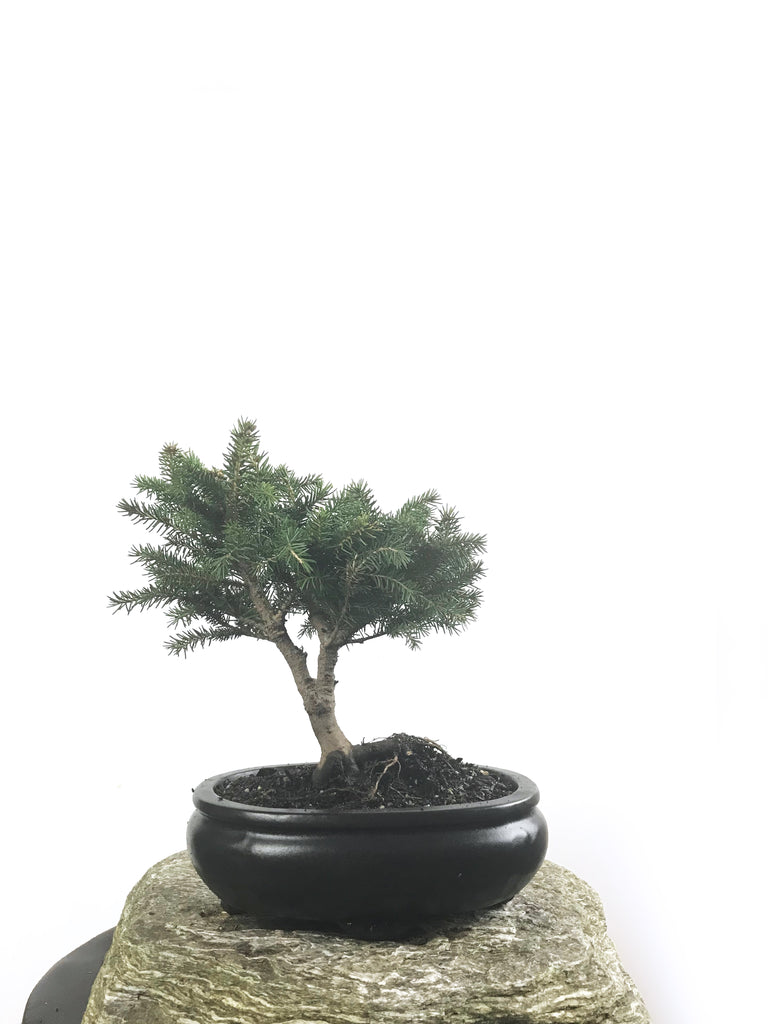 KOREAN SPRUCE (SP1808006)