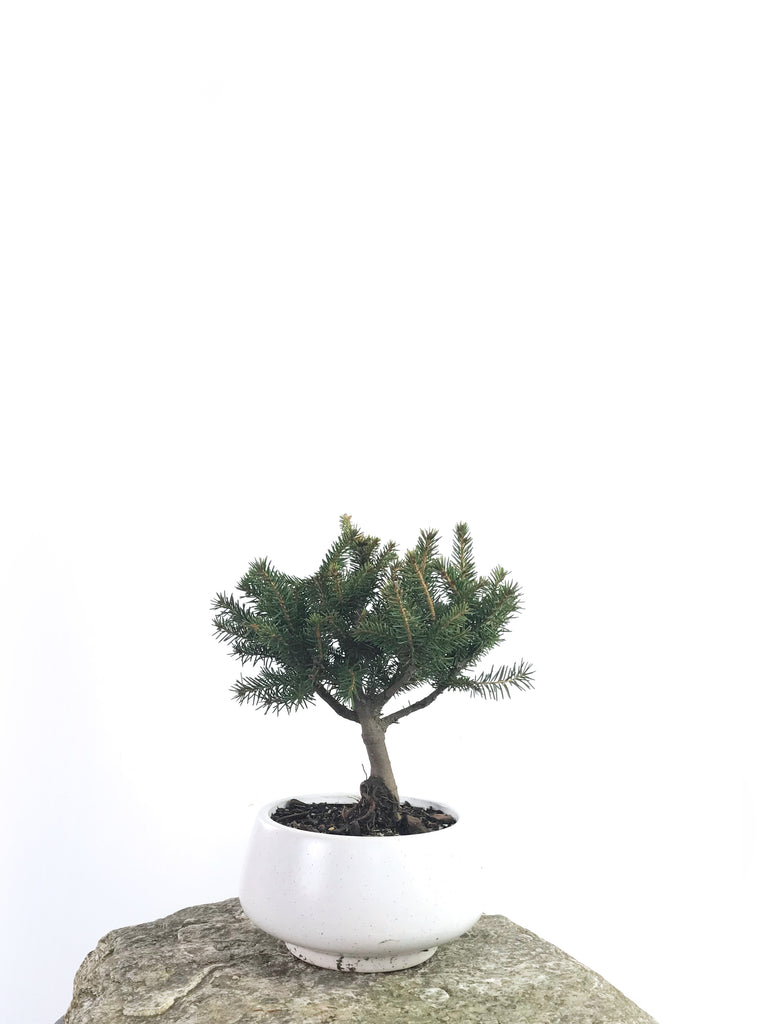 KOREAN SPRUCE (SP1808009)