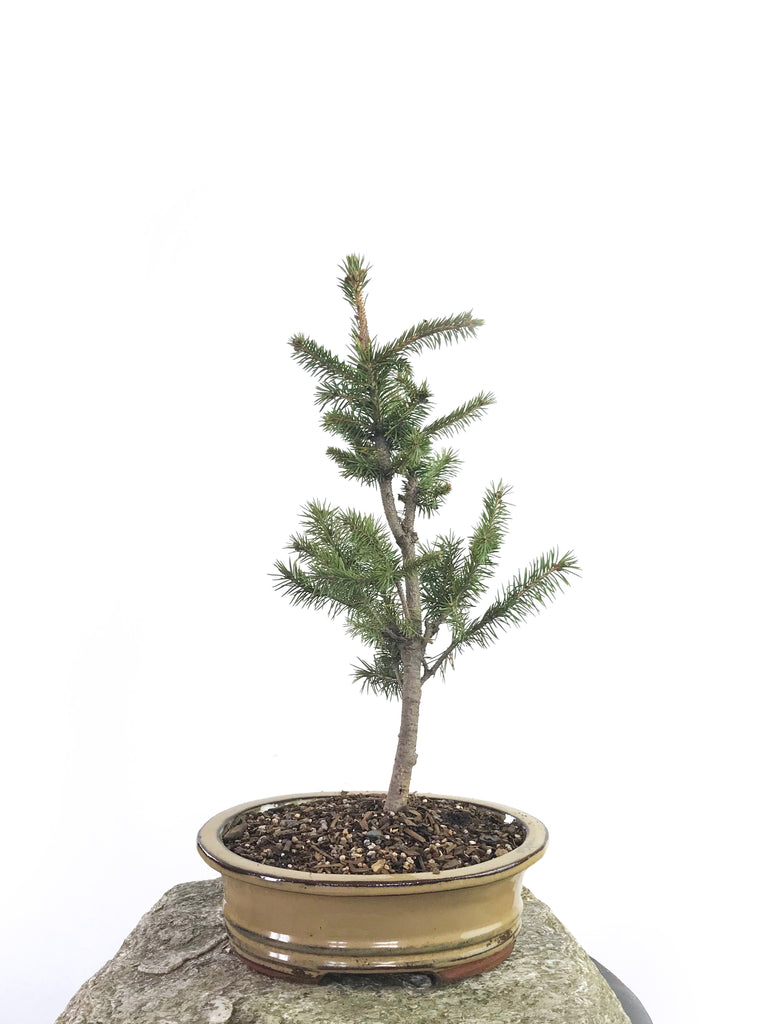 KOREAN SPRUCE (SP1808012)