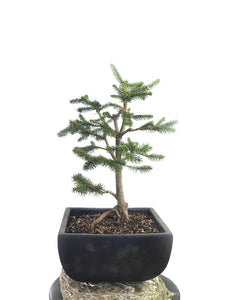 KOREAN SPRUCE (SP1808013)