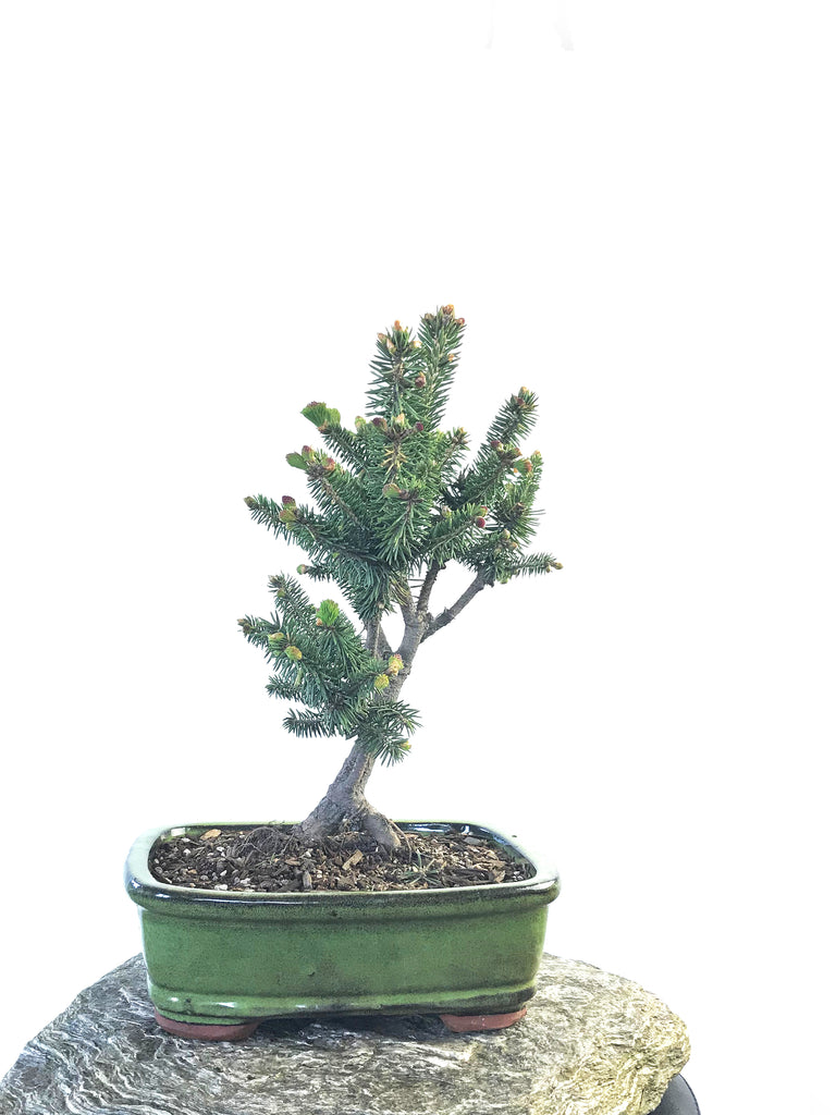 KOREAN SPRUCE (SP1808020)