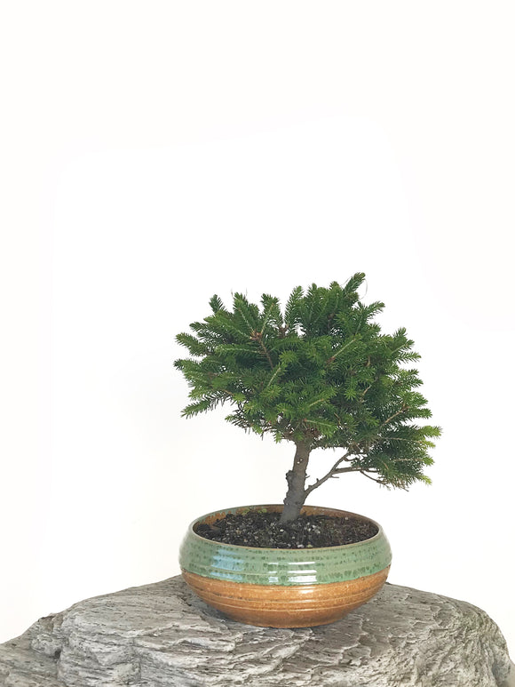KOREAN SPRUCE (SP1808037)