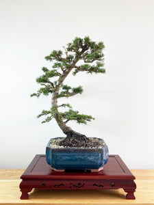 ATLAS CEDAR (OVER THE MOON)