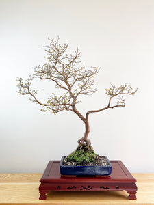 CHINESE ELM (NATURALISTIC)