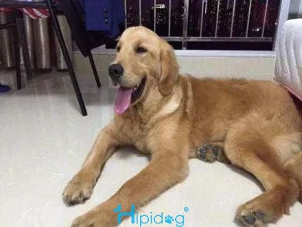 This is the quietness of the golden retriever, which he later went into trouble.-Hipidgopet