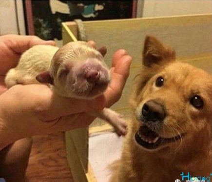 The golden first time I saw his baby-Hipidogpet
