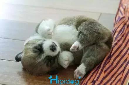 Sleeping puppy is so cute that  all troubles throw away! dog sleep on groud。