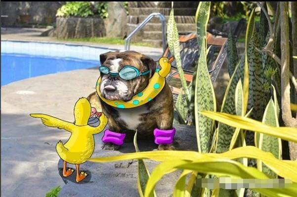 Hipidog, Let's go swimming-[Hipidogpet] When boodle the pet, the effect is unexpected