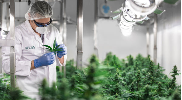 Medicinal Cannabis Company Seeks Experienced Grower
