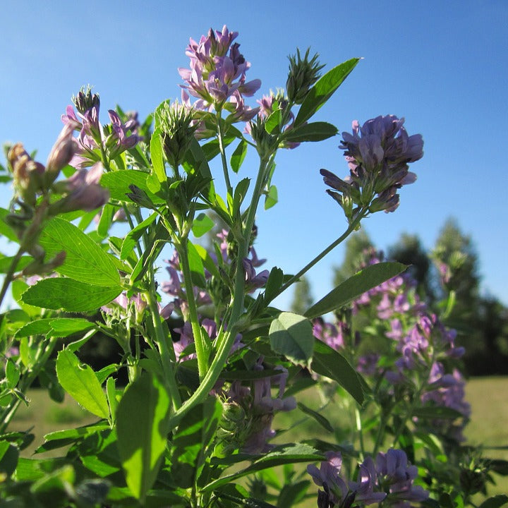 Alfalfa Seeds (Medicago sativa) Companion Planting Pack