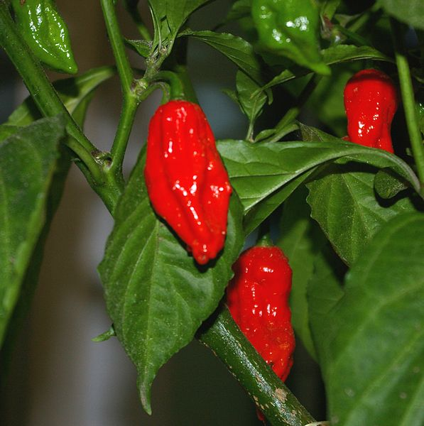 Chili Pepper Seeds - Bhut jolokia (C. chinense × C. frutescens)
